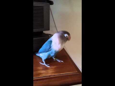 Blue The Dancing Lovebird