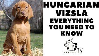 Hungarian Vizsla  Everything You need to know!  Vizsla dog breed info! Dogcasttv!