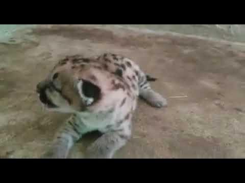 Testificar Catedral pista  Nace cría de puma en el Zoológico de Asunción - YouTube