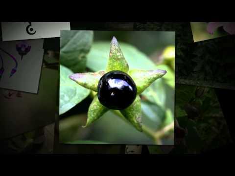 Белладонна — Википедия