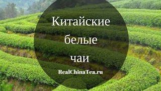 Китайские белые чаи. Проект RealChinaTea.ru