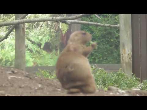 Twycross Zoo - Prairie Dogs (again)
