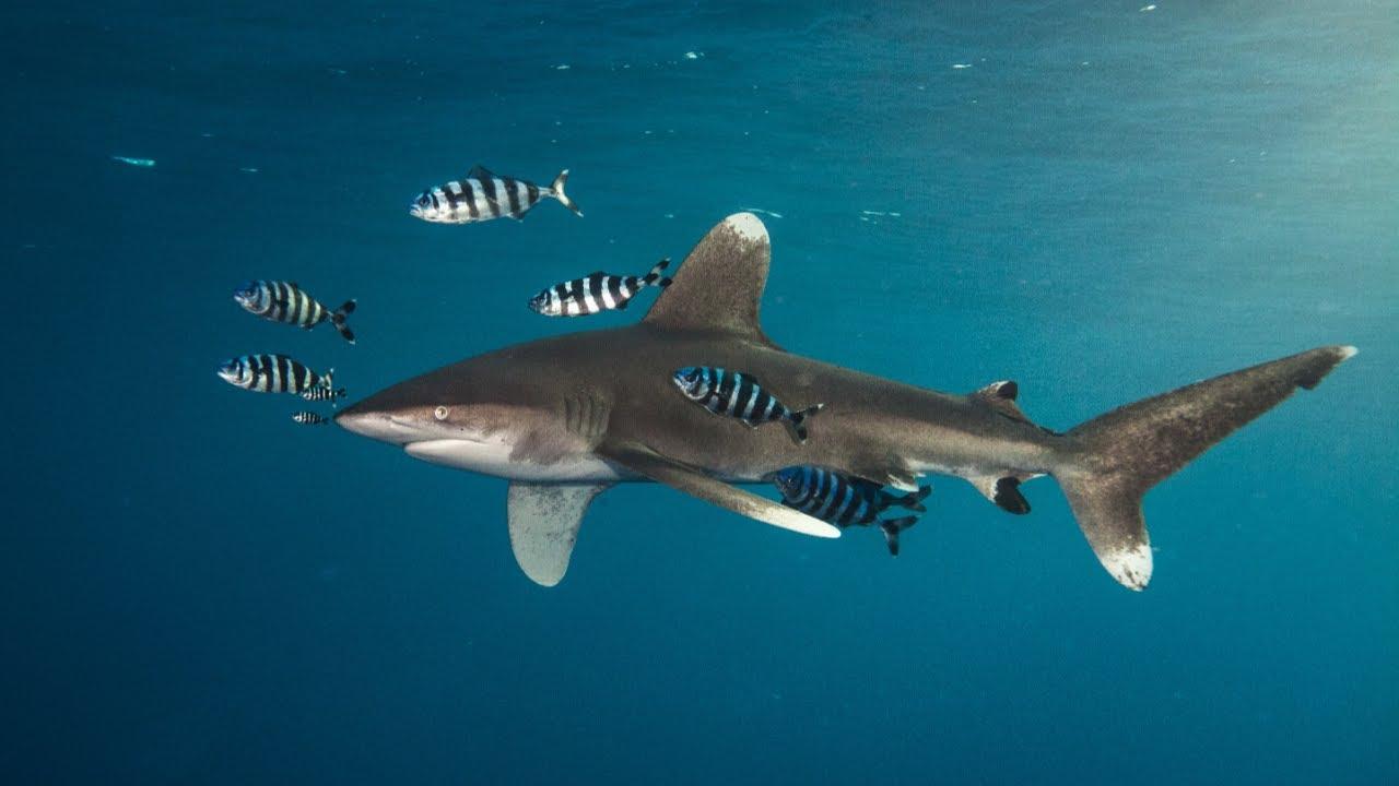 Déclin des requins : l'exemple du requin longimane