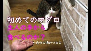 保護猫むぎちょこ初めてのマグロ!どうにか自分のツマミで手なずけようとする主人