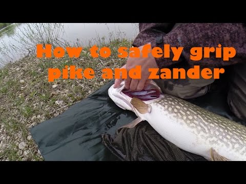 How To Safely Grip Pike Or Zander - Gil Plate Grip