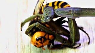 BATALLA entre una MANTIS y un AVISPÓN GIGANTE | Insects Fighting