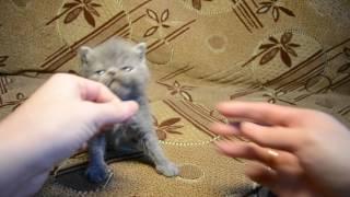 Экзоты котята. Открыт резерв