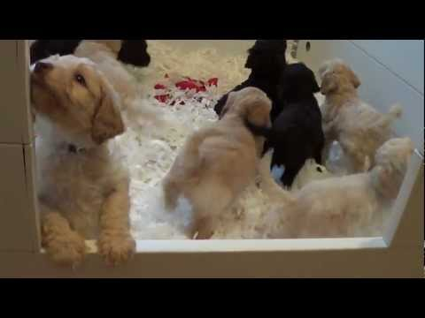 Australian Labradoodle Puppies - Molly's Pups At 6 Weeks
