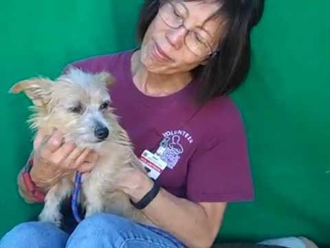 A4994735 Bob   Norfolk Terrier Mix Puppy
