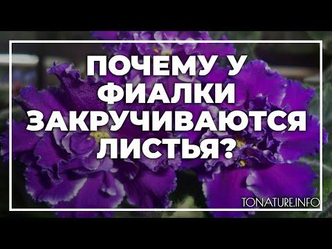 Почему у фиалки закручиваются листья?   toNature.Info