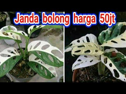 Pohon Janda Bolong Janda Bolong Tanaman Hias Youtube