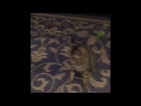 Funny cat dancing video-Too cat dance move
