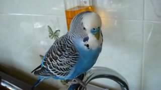 разговор попугая