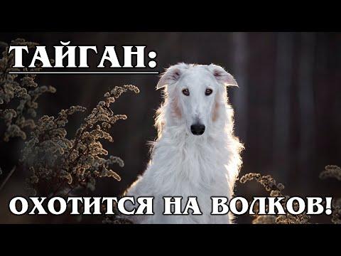 ТАЙГАН: Охотник за волками! Уникальная древняя порода киргизских борзых собак   Породы собак