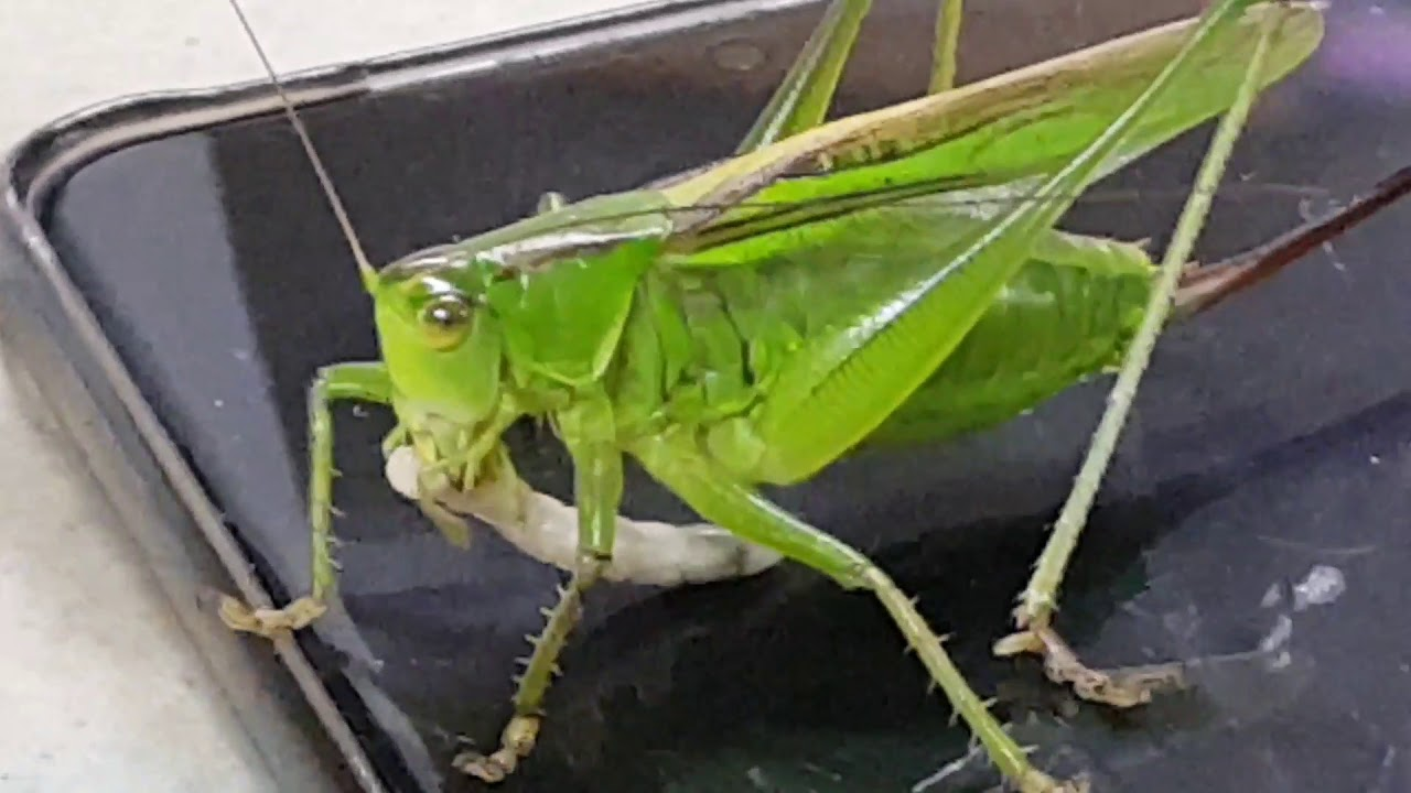 [만천곤충박물관] 이녀석들은 낯도 안가립니다  천적이 주는 먹이를 넙쭉 받아먹는 과감성~~ 직접 확인하세요 ♡♡ Gampsocleis ussuriensis