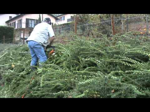 Octobre 2008 d monstration de taille d 39 arbustes youtube - Taille des hortensias en mars ...