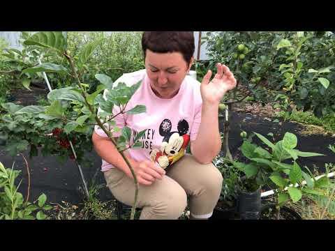 Вопрос: Какие сорта смородины подходят для штамбовой формы выращивания?