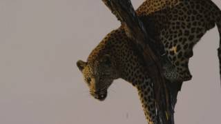 FILM CREW ATTACKED BY LEOPARD!!!