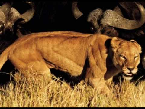 Muscular Lioness - Part 1 - YouTube