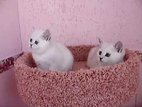 British Shorthair white kittens  Play Time
