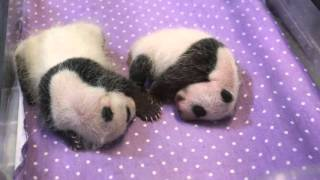 Toronto Zoo Giant Panda Cubs - One Month Old