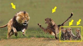 Мать- гепард защищает детенышей от мужского льва