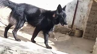 Black Germane shepherd dog best trained dog jack