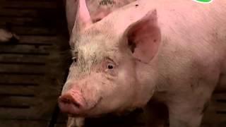 Свиноводы. Деловая встреча.(Как удешевить производство свинины, когда валюта, а значит премиксы, ветеринарные препараты, обслуживание..., 2016-02-03T11:04:30.000Z)
