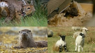 The Highlands' cutest baby animals | Highlands - Scotland's Wild Heart thumbnail