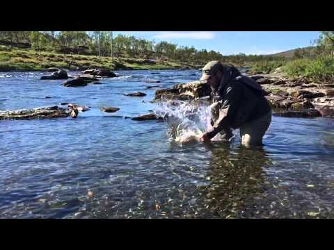 Releasing of a salmon in river Laggo, Norway