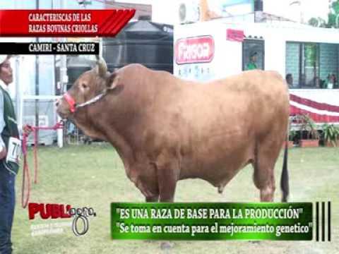 PUBLIAGRO CARACTERISTICAS DE LA RAZA BOVINA CRIOLLA DEL CHACO BOLIVIA