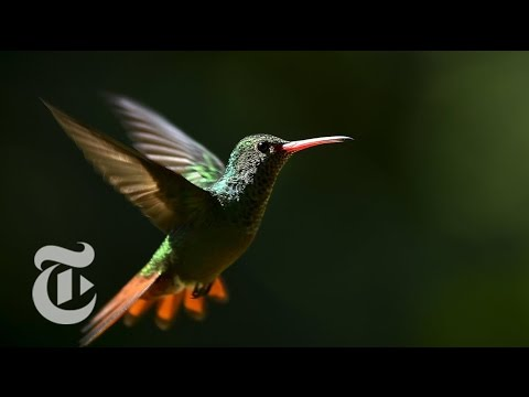How a Hummingbird Flies in the Wind | ScienceTake | The New York Times Mp3