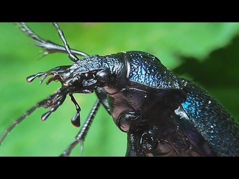 Мир насекомых. Жуки