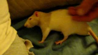 Mikey very Affectionate rat