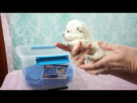 THISTLEBERRY WESTIES   PUPPY WEIGH IN AND ID MARKING DAY