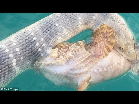Killer sea snake vs deadly stonefish youtube for Stone fish facts