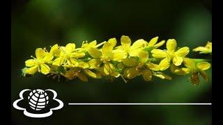 Парило звичайне. Репешок обыкновенный. Agrimonia eupatoria