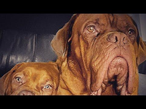 Dogue de bordeaux best family guard dog 2020 French mastiff