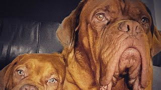 Dogue de bordeaux best family guard dog 2020 French mastiff