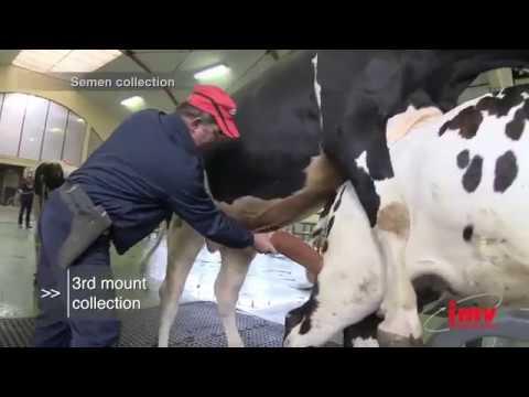 Сбор, фасовка и заморозка семени быка