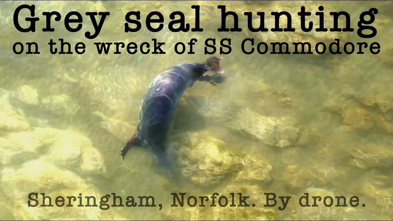 A grey seal joins a snorkeller on the wreck of the SS Commodore at Sheringham, Norfolk.