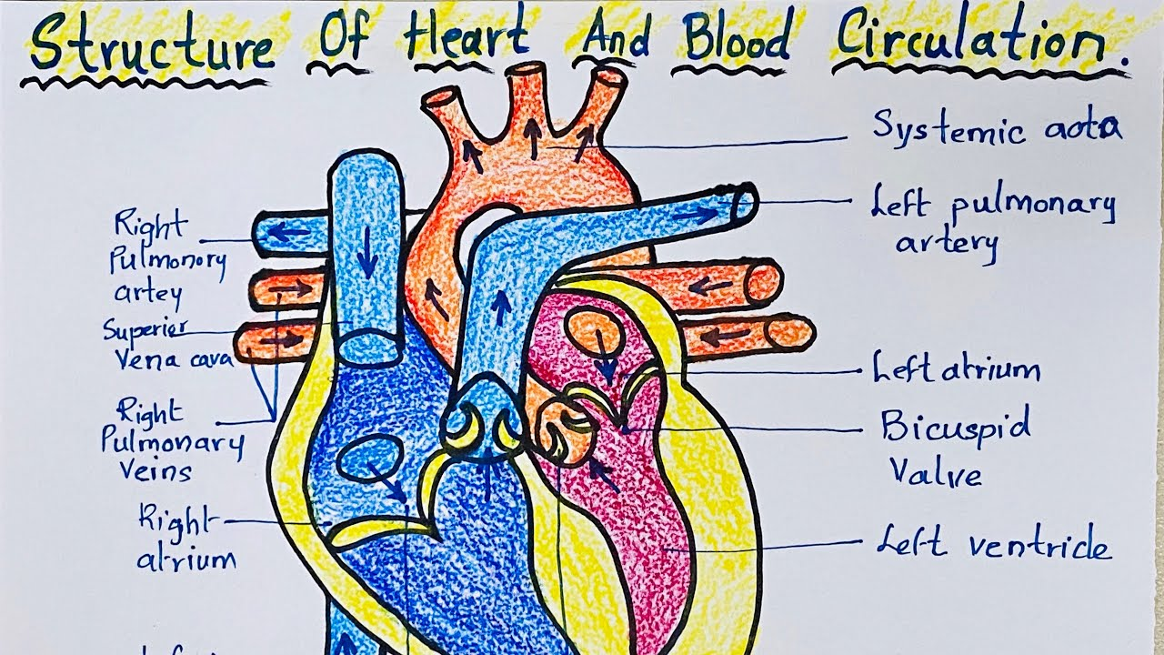 How to draw Structure of heart and blood circulation ...