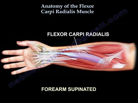 Anatomy Of The Flexor Carpi Radialis Muscle Everything You Need To