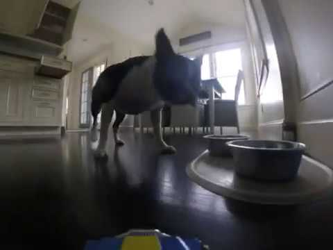 Boston Terrier vs. radio controlled car