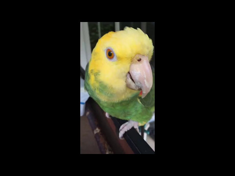 My Double Yellow-Headed Amazon Parrot