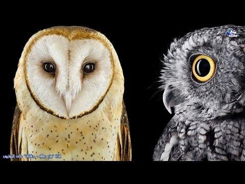 حقائق مذهلة عن البومة | طائر الحكمة وأكثر الطيور غموضاً وغرابة