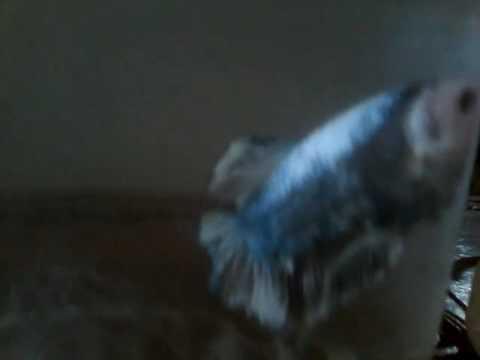 Ikan cupang giant jumbo 250rb ambil