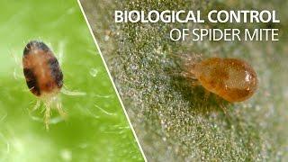 Biological control of spider mite - Neoseiulus californicus
