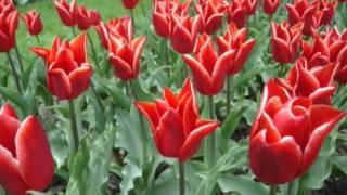 Посадка луковичных.  Лилии, тюльпаны, нарциссы, мелколуковичные -  осенняя посадка.