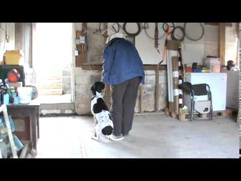 Dog Training Maryland English Pointer Reverse Heel